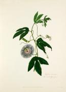 Passiflora incarnata. Three-leav'd Passion Flower