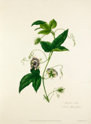 Passiflora celiata
