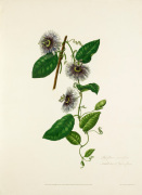 Passiflora serratifolia by Mary Lawrance
