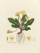 Primula acaulis by William Curtis