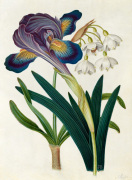 Painted Iris and Summer Snowdrop