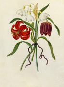 Scarlet Martagon, Cluster Snowdrop, Purple Fritillaria by James Bolton