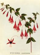 Fuchsia coccinea by James Bolton