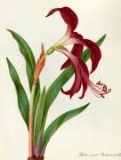 Jacobean Lily