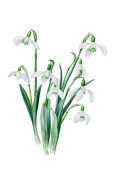 Galanthus caucasicus grandis by Edward Augustus Bowles