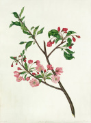 Pyrus spectabilis by Elizabeth Smith