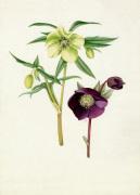 Helleborus 'Bowles's Yellow', Helleborus atrorubens by Graham Stuart Thomas