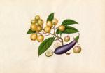 Solanum melongena Malus prunifolia Eriobotrya japonica