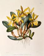 Rhyncholaelia glauca by M. Gauci