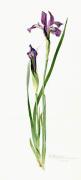 Iris tolmieana