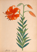 Lilium leichtlinii var. maximowiczii by Anonymous