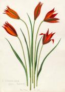T. orphanidea (Red Forms) by John Paul Wellington Furse