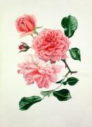 Rosa 'Dream Girl' by Graham Stuart Thomas