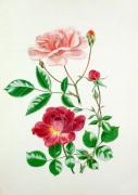 Rosa 'Auguste Gervais' Rosa 'Alexandre Girault'