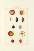 Tableau XXVIII. Fruits