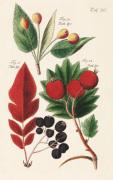Taf. 26 by Johann Ludwig Christ