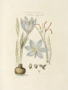 Saffron : Crocus officinalis by John Miller