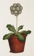 Bertle's Royal Sportsman an Auricula