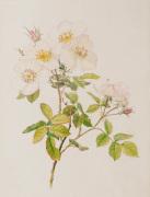 Rosa dupontii (Rosa nivea (moschata x gallica))