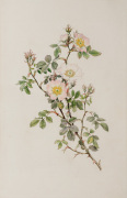Rosa stylosa by Alfred William Parsons