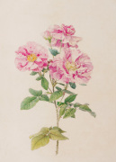 Rosa gallica var. versicolor by Alfred William Parsons
