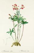 Alstroemeria ligtu by Pierre Joseph Celestin Redouté