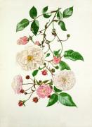 Rosa Adélaide d'Orléans, Rosa Félicité Perpétue, Rosa Spectabilis by Graham Stuart Thomas