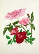 Rosa 'Madame de Sancy de Parabere', Rosa 'Amadis' by Graham Stuart Thomas