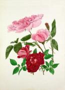 Rosa 'Madame de Sancy de Parabere' Rosa 'Amadis'