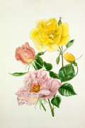 Rosa 'Lawrence Johnstone', Rosa 'Cupid' by Graham Stuart Thomas