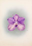Vanda coerulea Bluebeard by Nellie Roberts