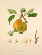 The White Buerrée Pear