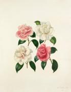 Camellia species