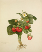Strawberry 'Wilmot's Superb' by Charles John Robertson