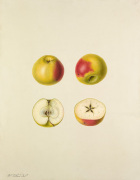 Apple cultivar