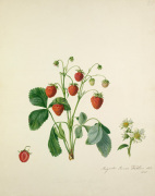 Knight's Scarlet Fleshed Strawberry by Augusta Innes Withers