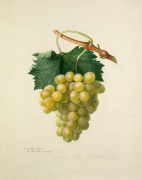 The Cannon Hall Muscat Grape by Augusta Innes Withers