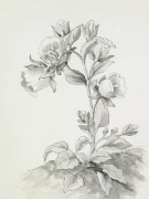 Campanula formanekiana by Gertrude Jekyll