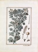 Acacia longissimis spinis alba by Claude Aubriet