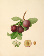 The Nectarine Plum by William Hooker
