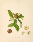 The Dutch Medlar by William Hooker