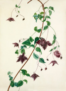 Clematis purpurea by Margaret Meen