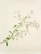 Lobelia sp. by Margaret Meen
