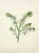 Psoralea aculeata by Margaret Meen
