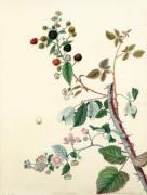 Rubus fruticosus by Margaret Meen