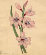 Gladioli blandi. var G. by Sydenham Teast Edwards