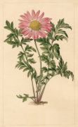 Chrysanthemum roseum by Sydenham Teast Edwards