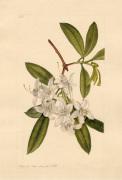 Rhodod. hybridium by John Curtis