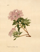 Rhododendron indicum by John Curtis