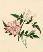 Dianthus caryophyllus 'Scarlet Flake' : Jasminum officinale